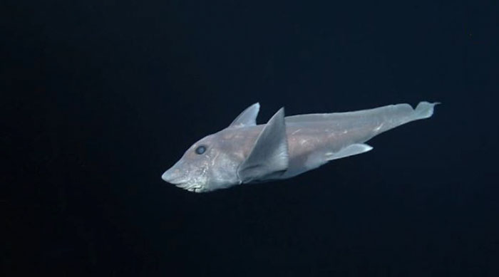 First view of the ghost shark