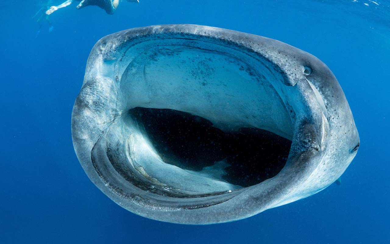 WHale shark eating tuna