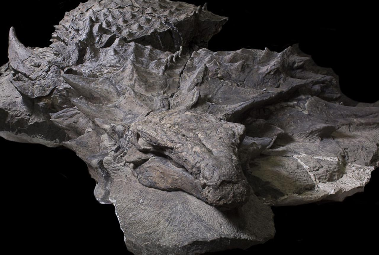 The dinosaur fossil close-up