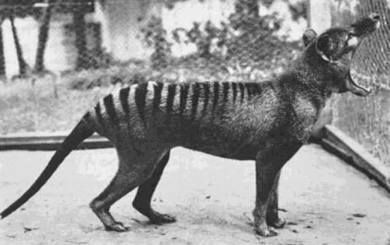 Extinct animal: Thylacine