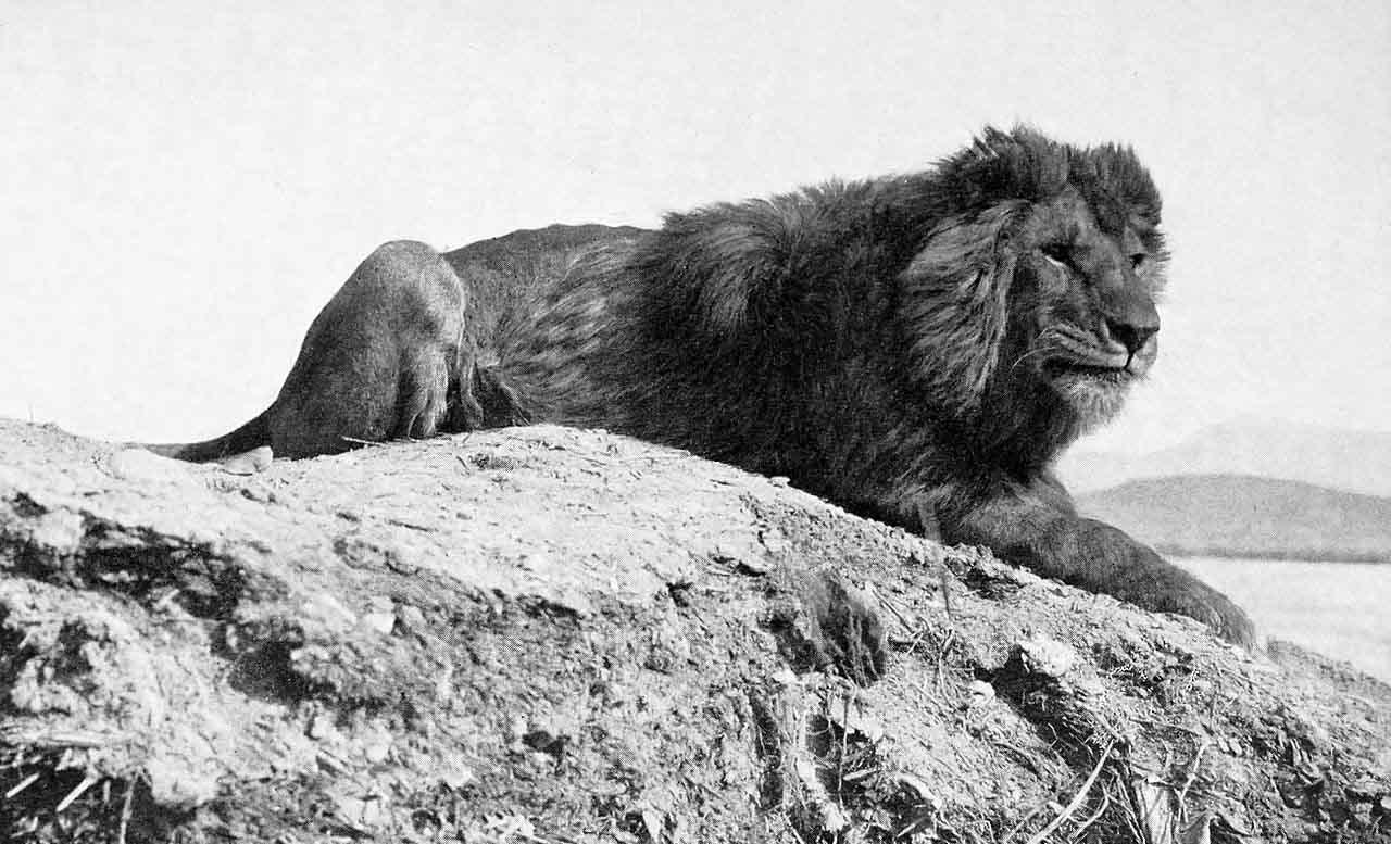 Barbay Lion