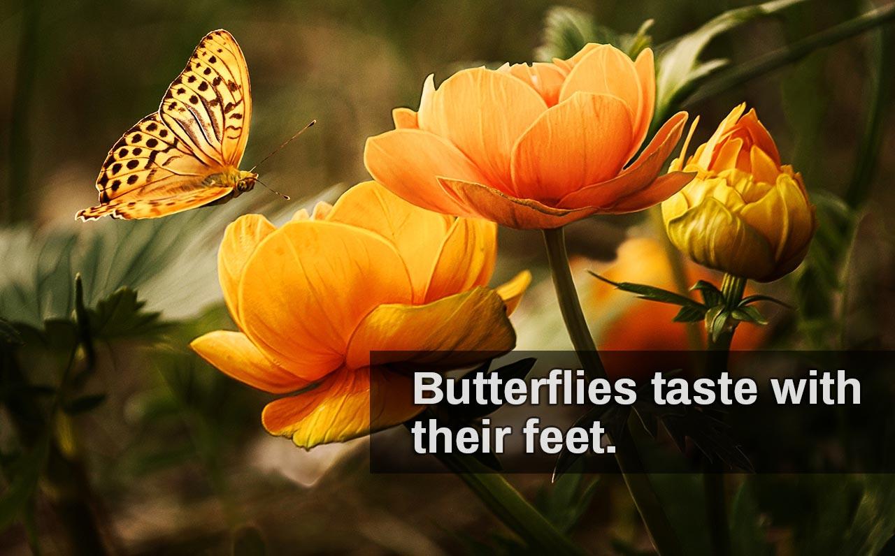 Butterfly, butterflies, taste, feet