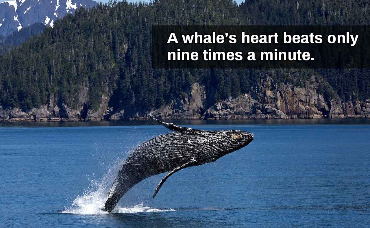 Whale heart beats 9 times per minute