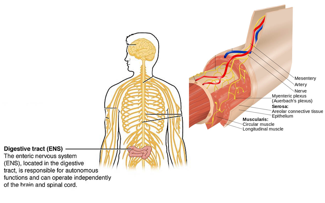 Enteric nervous system inside intestines