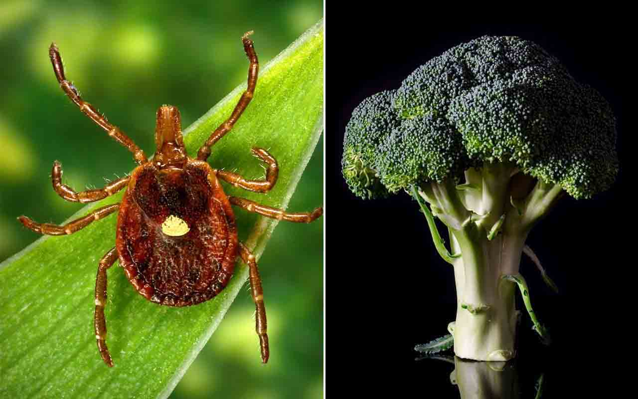Lone Star tick, broccoli