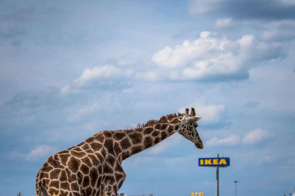 IKEA, giraffe, sad, captive, captivity, zoo