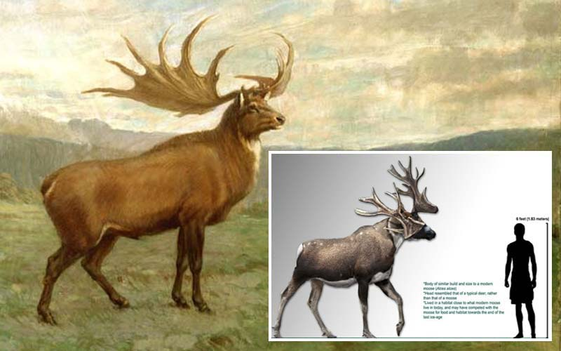 Irish Elk extinct, de-extinction