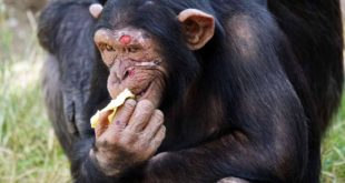Gombe chimpanzee war, chimpanzee fight, scary,