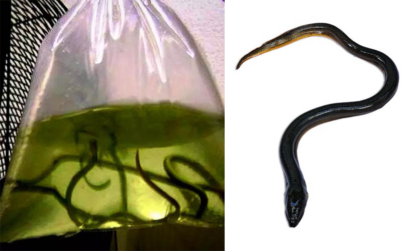 Live eels caught by TSA agents