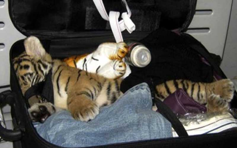 Tiger cub sneaked in by passenger