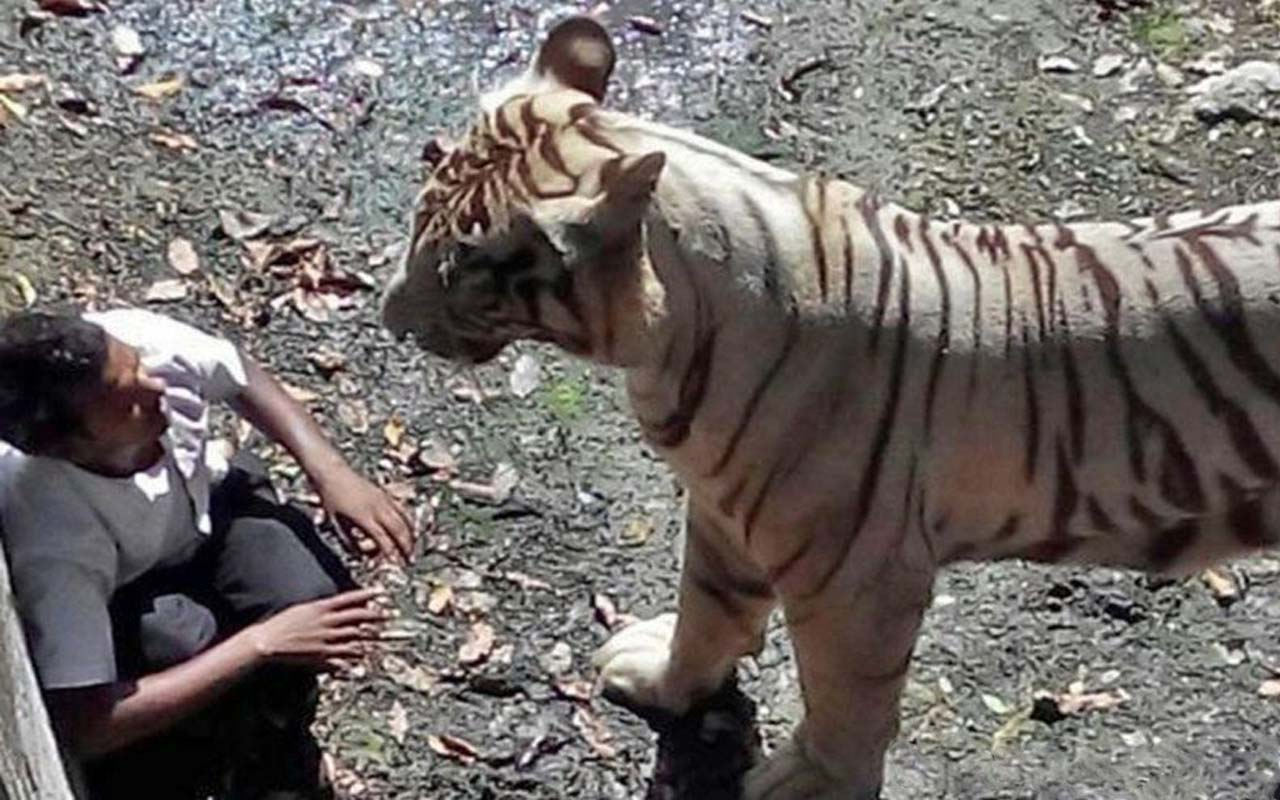 20-year-old man, identified to the press by his first name, Maqsood, allegedly crossed two or three barriers to get to the edge of the New Delhi Zoo's tiger exhibit.