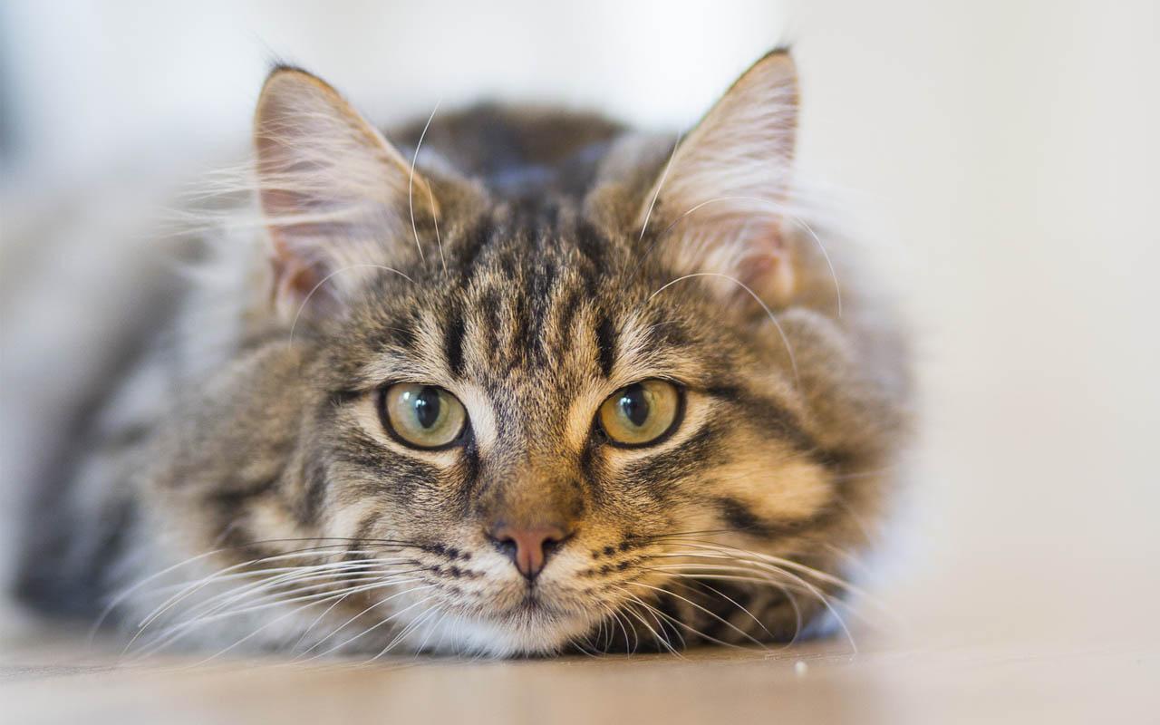 cat purring, explain, science, scientists