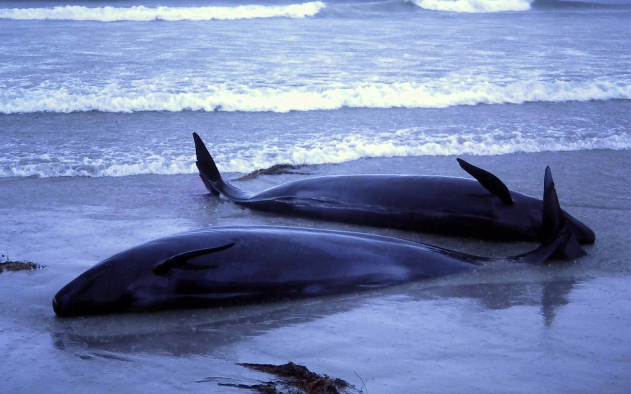 Suicidal whales