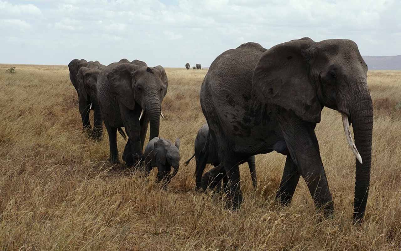 Two Herds Of Elephants Attack And Destroy Nearby Villages In Retaliation To One Their Herd Members Being Killed By Poachers