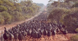 Emu war, thumb, fact, facts