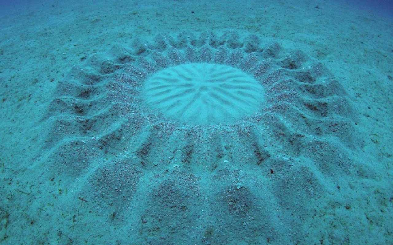 Underwater crop circles, Puffer fish
