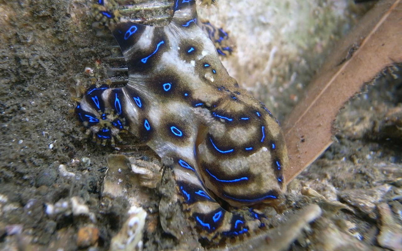Blue-ringed octopus, deadly