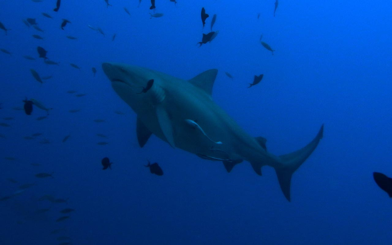 Bull shark, ocean, sea, blue