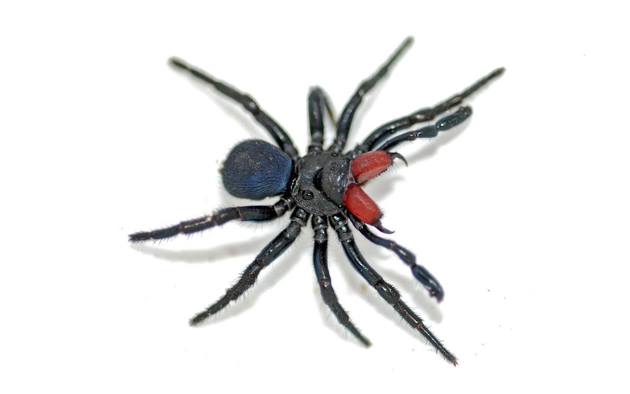 Sydney funnel web spider, spiders, Arachnophobia