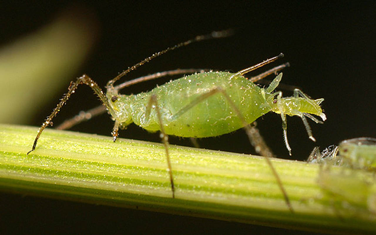Aphids give birth to other pregnant aphids.