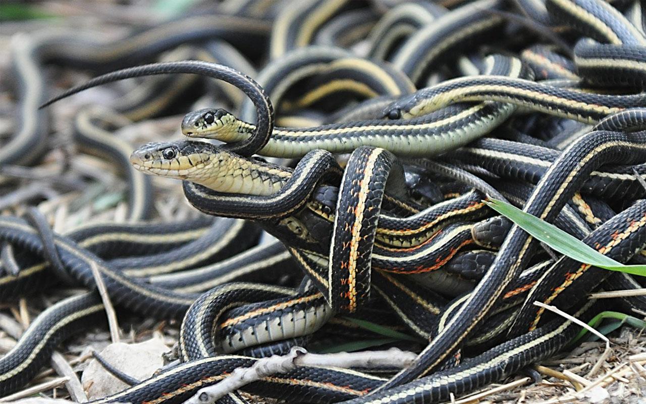 Snakes, venomous, life, danger