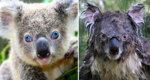 koala, animals, wild animals, fact, facts, adorable, defend