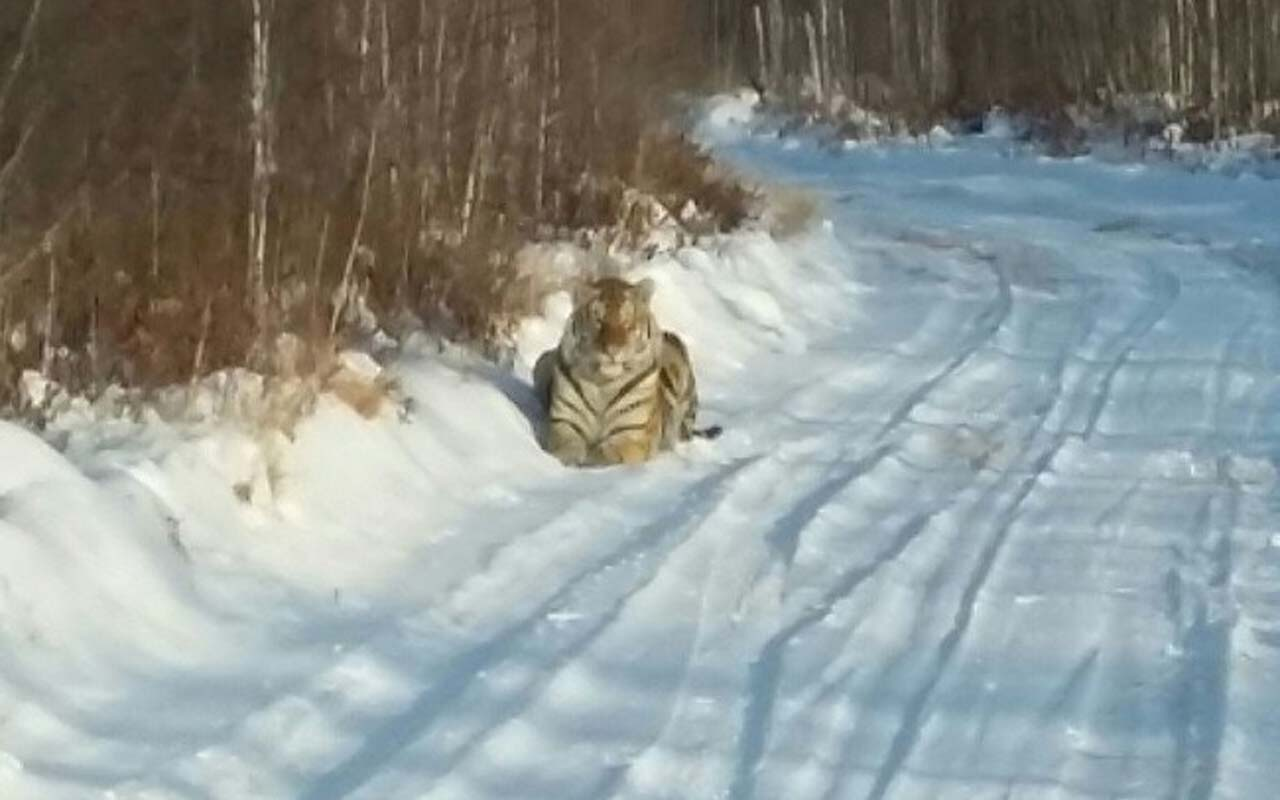 A Siberian tiger came out of a forest to find food.