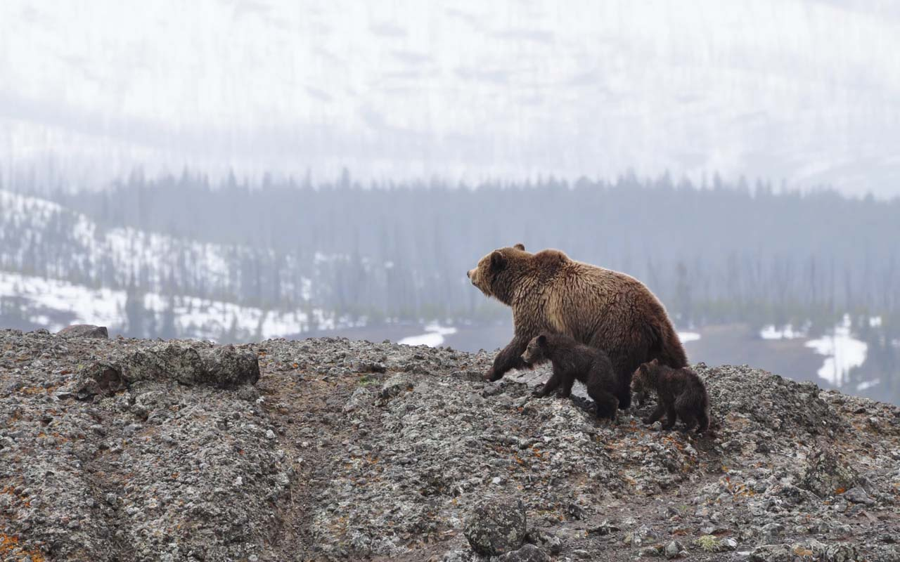 Grizzly bear, Yellowstone National Park, fact, facts