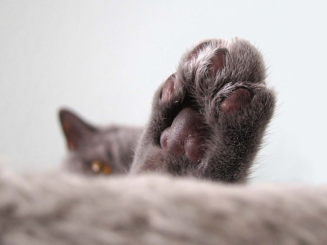 Cats sweat through their paws, cat, fact, facts, animal, life, survival
