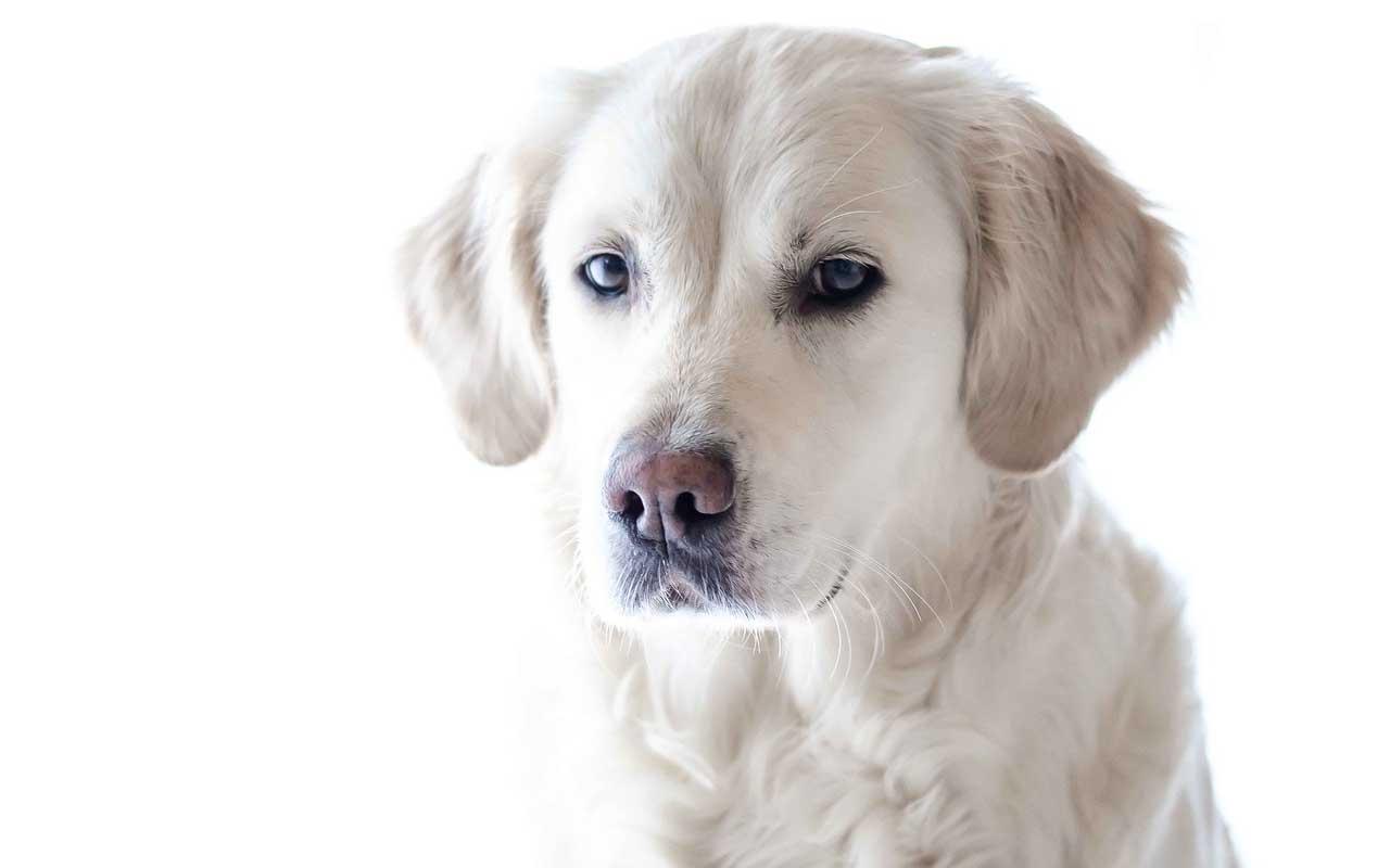 Sir Lancelot -$155,000, dog, clone, cloned, life,