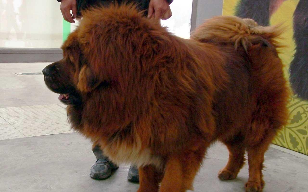 Tibetan Mastiff, puppy, dog, dogs, human life