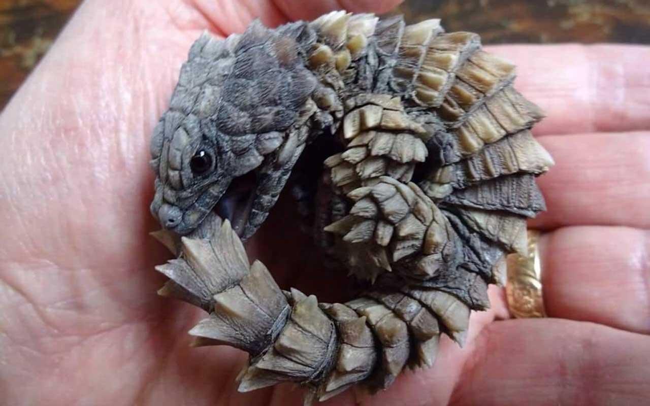 Cute Ouroborus Baby Dragon