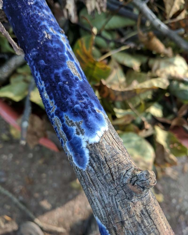 This blue fungus growing on a dead branch looks like shallow ocean from above.