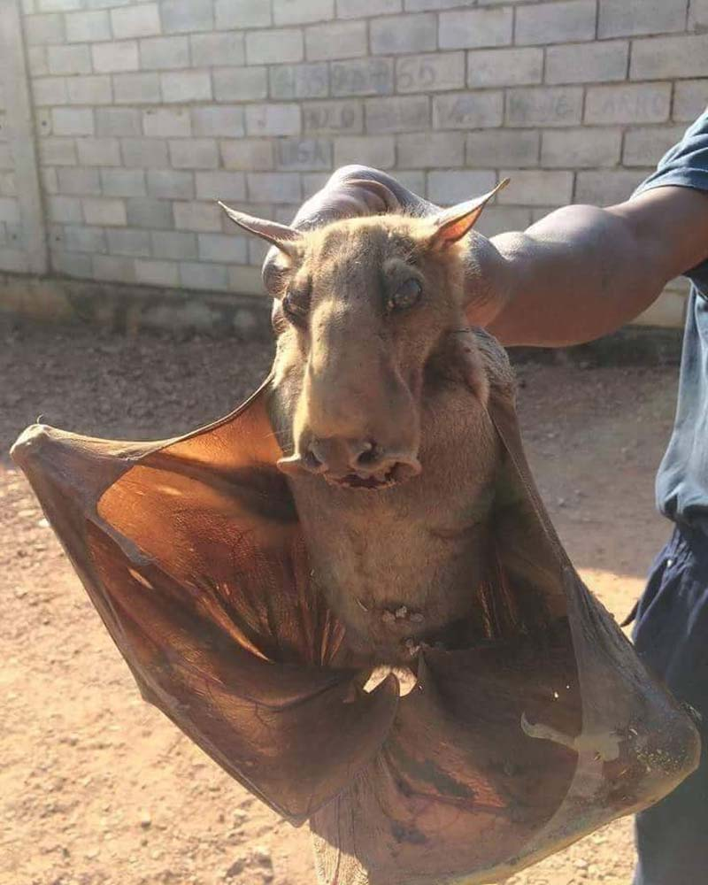 The hammer-headed bat (Hypsignathus monstrosus) is a megabat found in the tropical forests of central Africa.