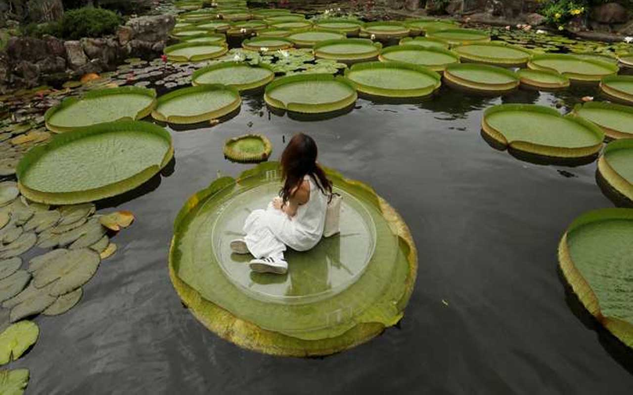 Giant water lily leaves.