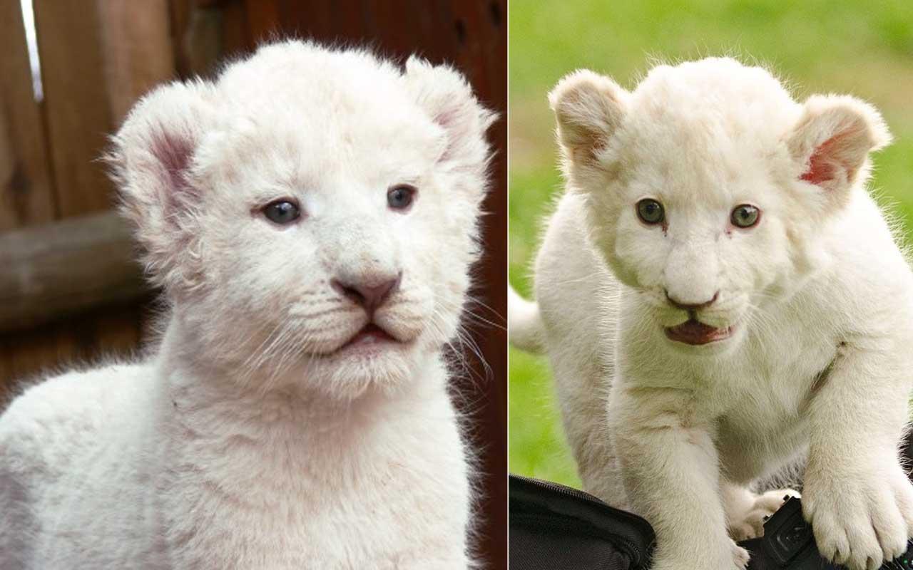 White Lion Cubs, lion, animal, wilderness