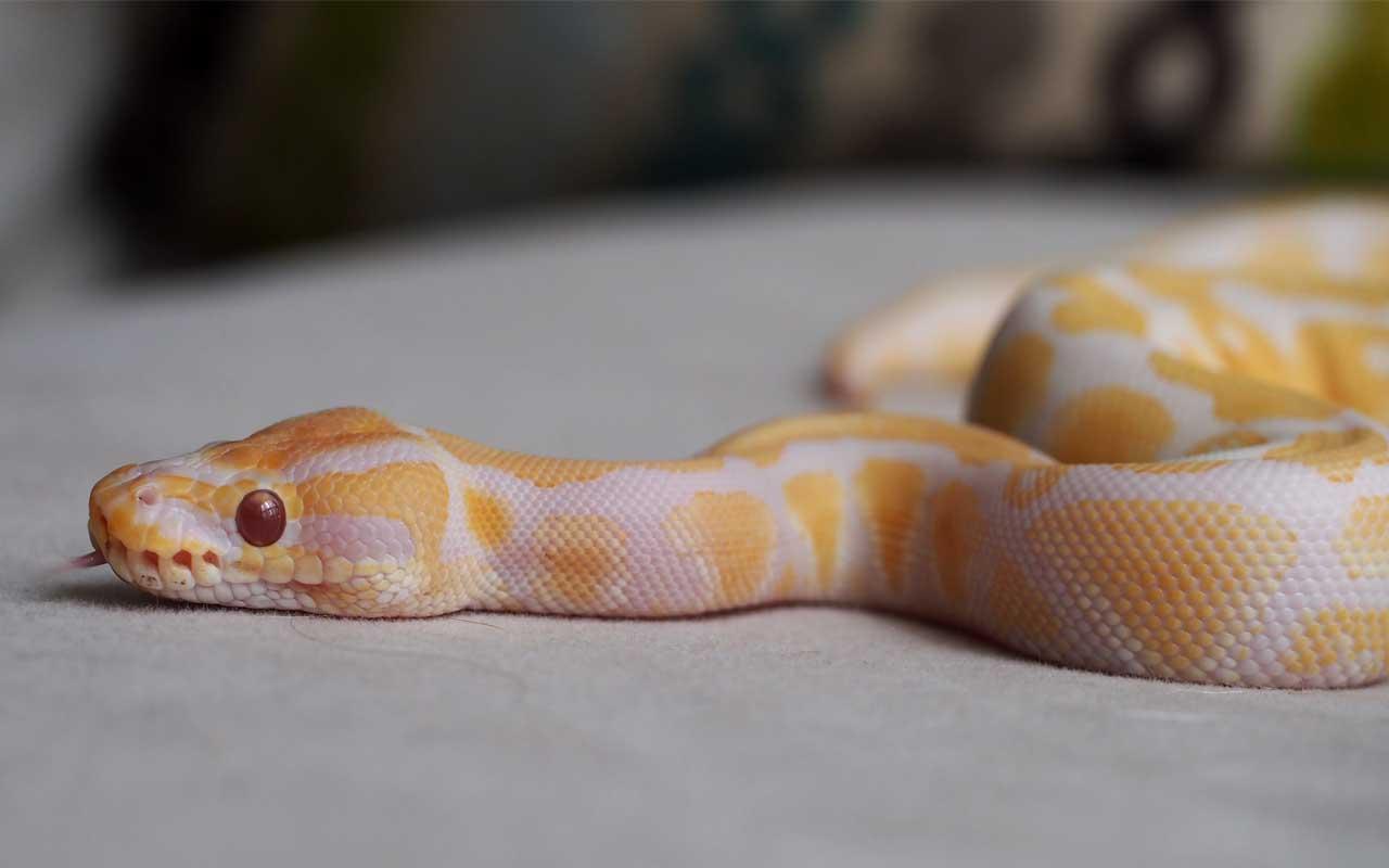 Lavender Albino Ball Python - $40,000