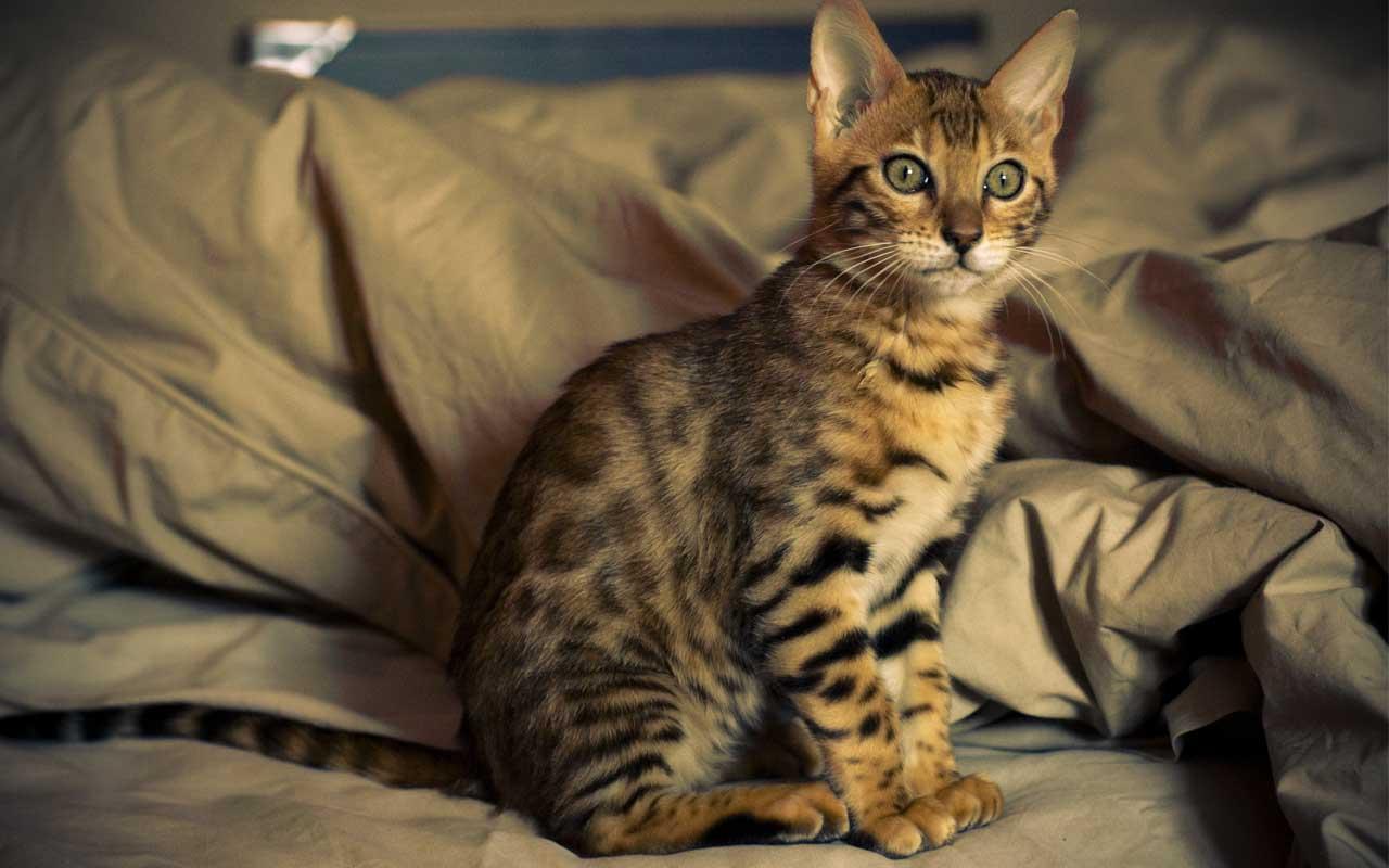 The Bengal Cat, kitten, mitten, animal