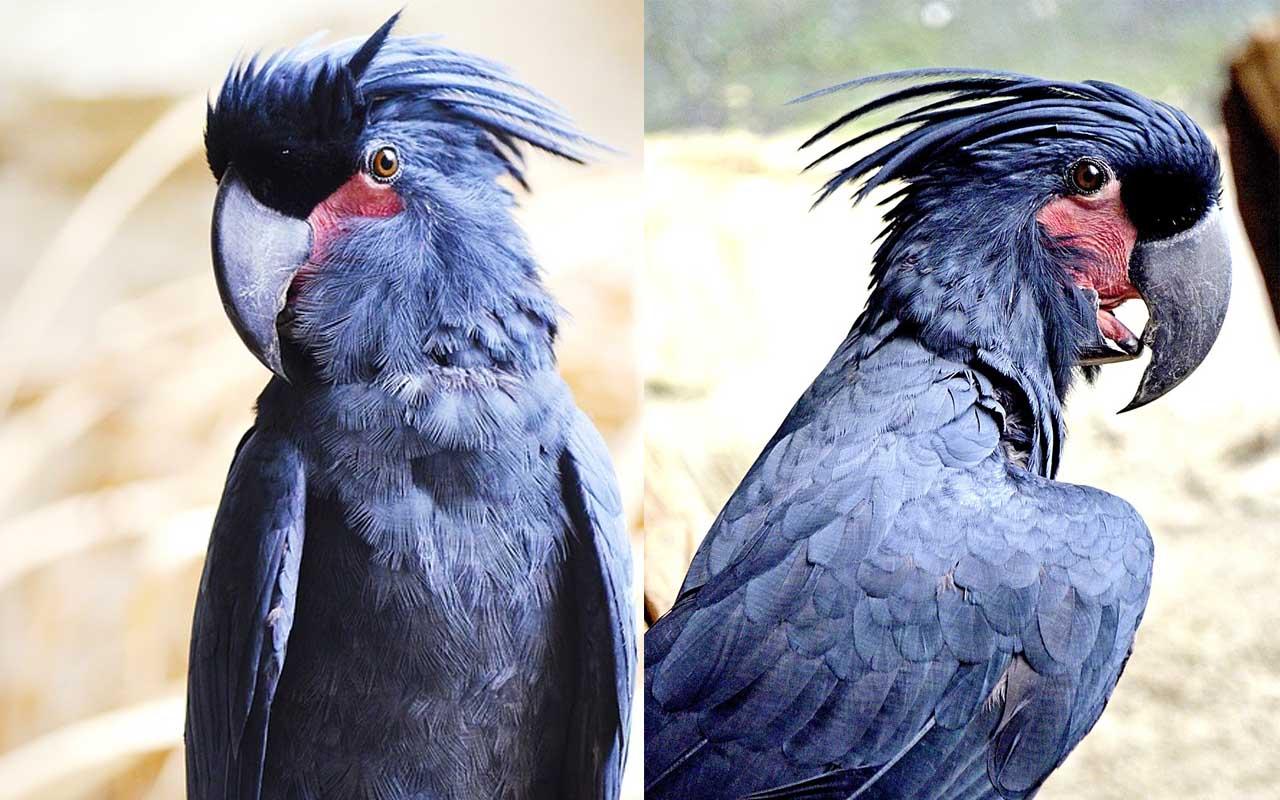 Palm Cockatoo, bird, birds, parrot, wildlife, pet, pets