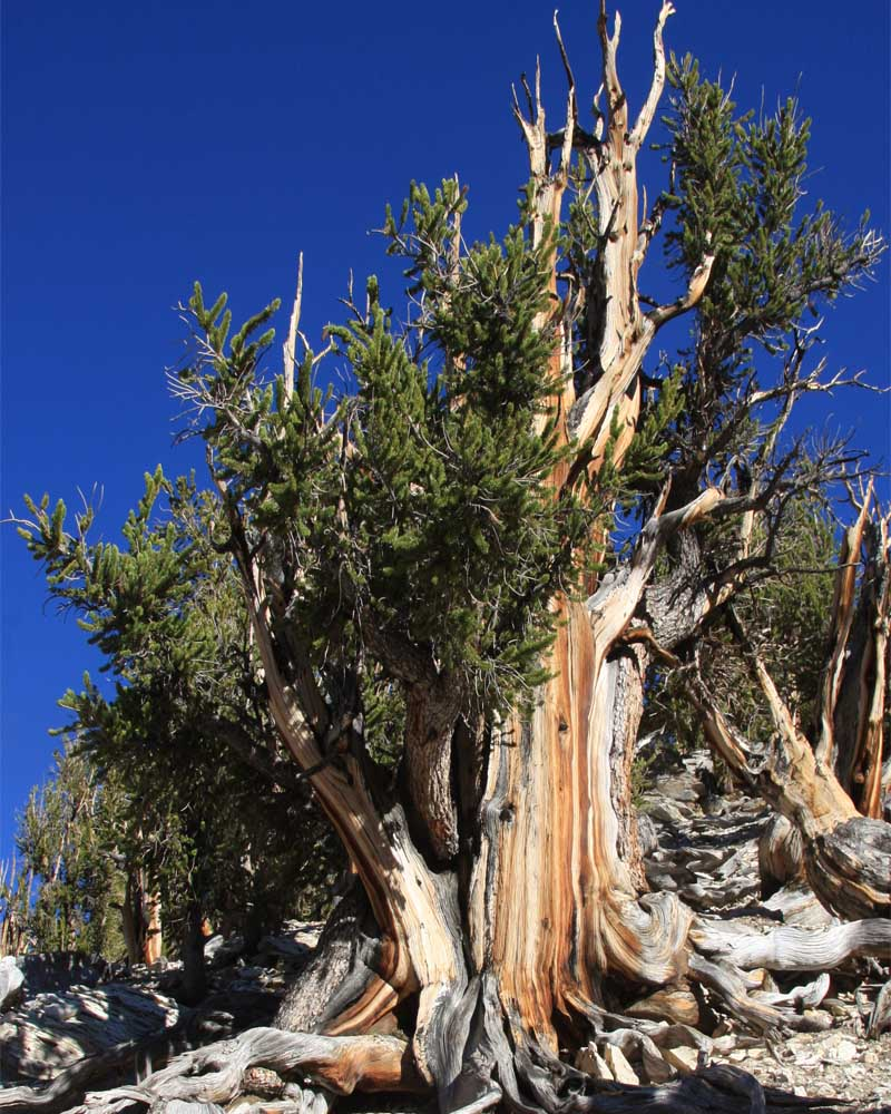 The world's oldest tree, located in California,was already 1,000 years old when the last Woolly Mammoth died.