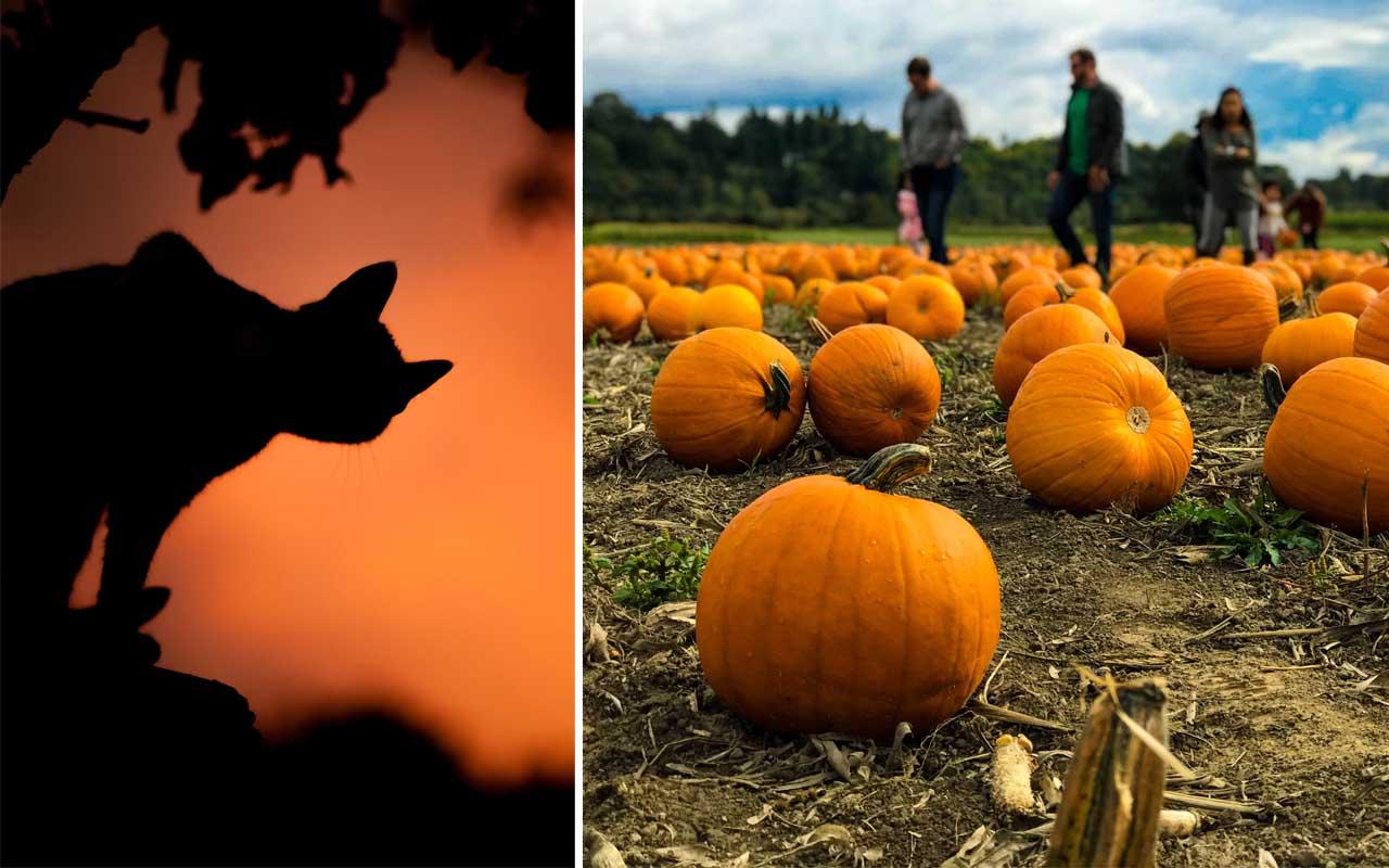 Halloween, cats, pumpkin