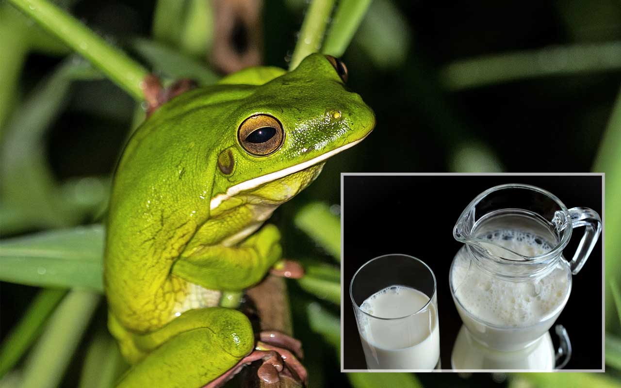 Frog, milk, inventions, life, people, history, fact, facts