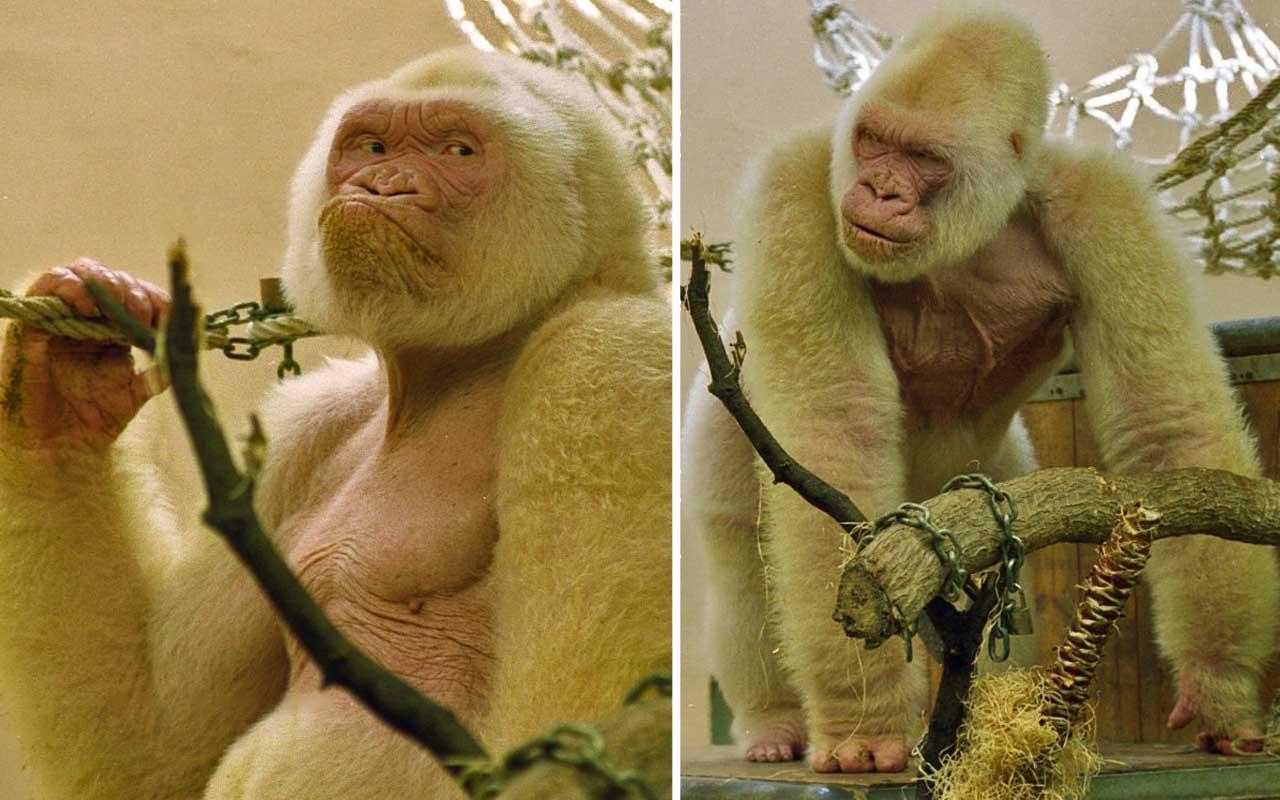 Snowflake - Barcelona Zoo White Gorilla, Albino, Western lowland gorilla, rare, extinct, life, animals