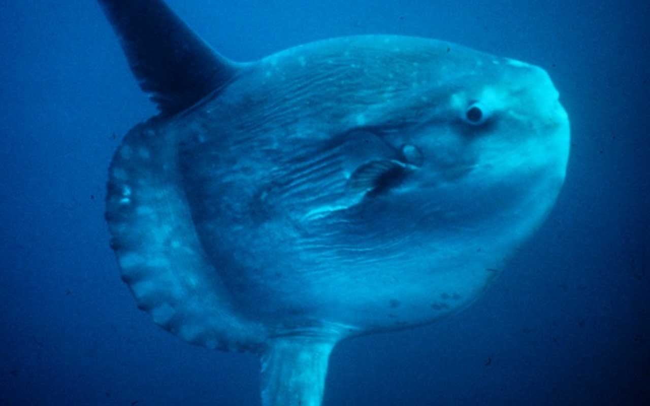 Sunfish, ocean, population decreasing, life, planet, nature, rare