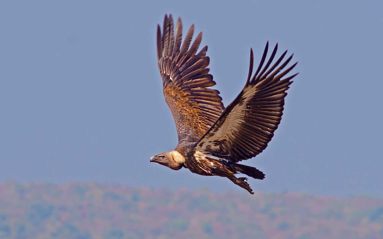 White-rumped vulture, bird, animal, life, nature