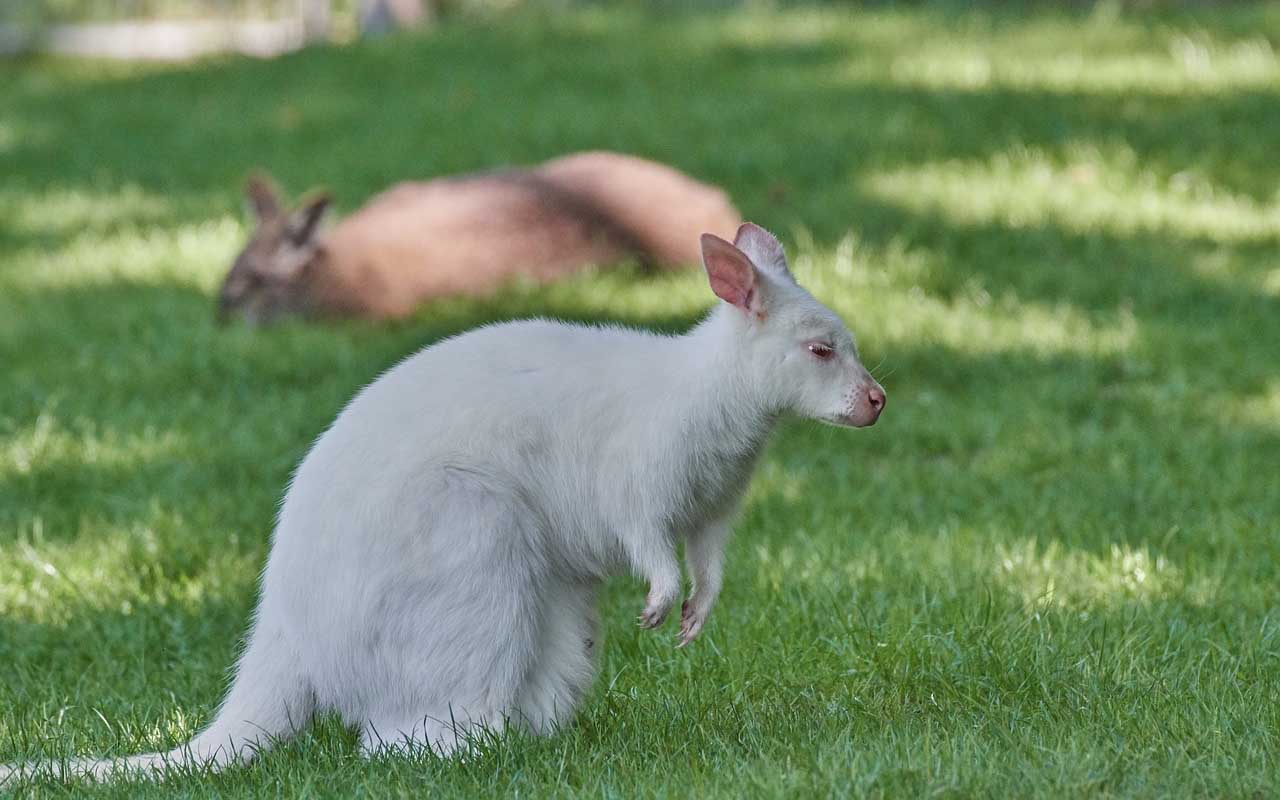 Kangaroo, albino, Australia, continent