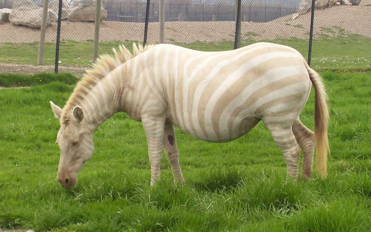 zebra, albino, wildlife, animals