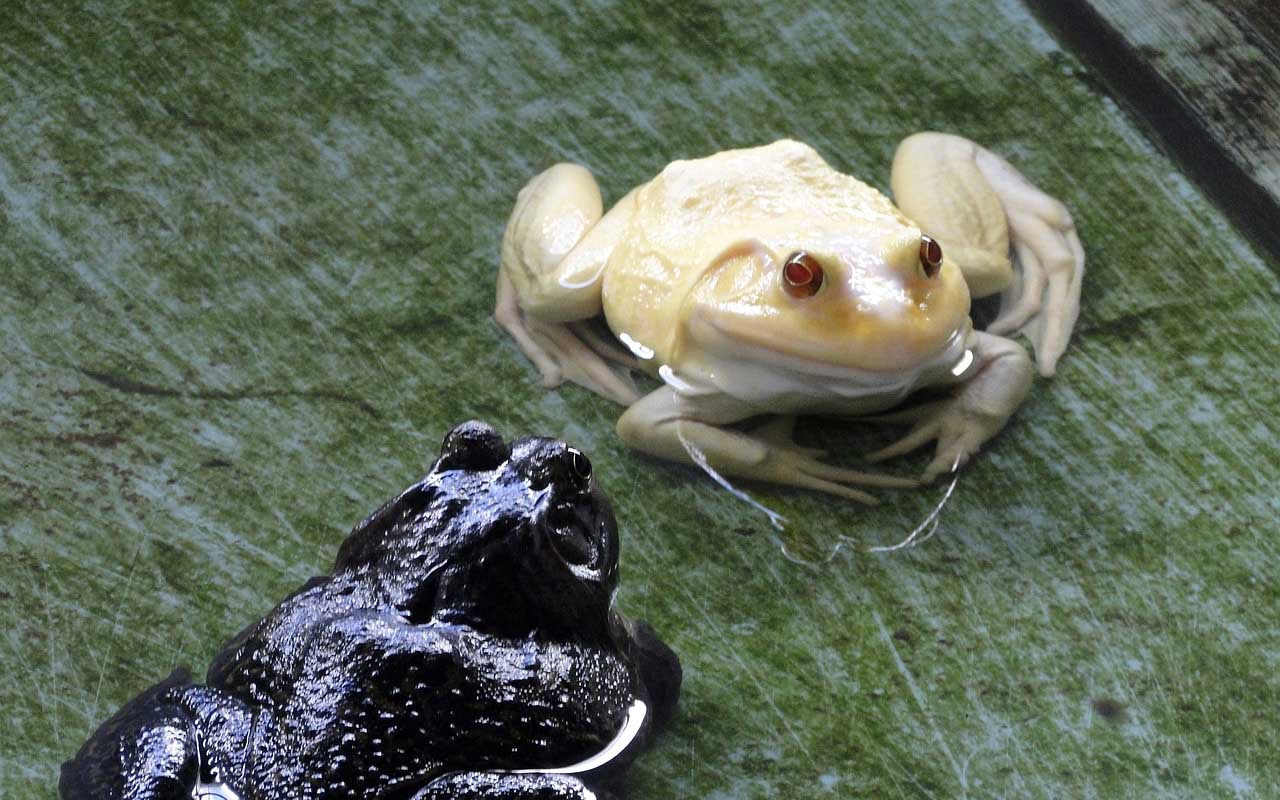 albino, frog, nature, planet