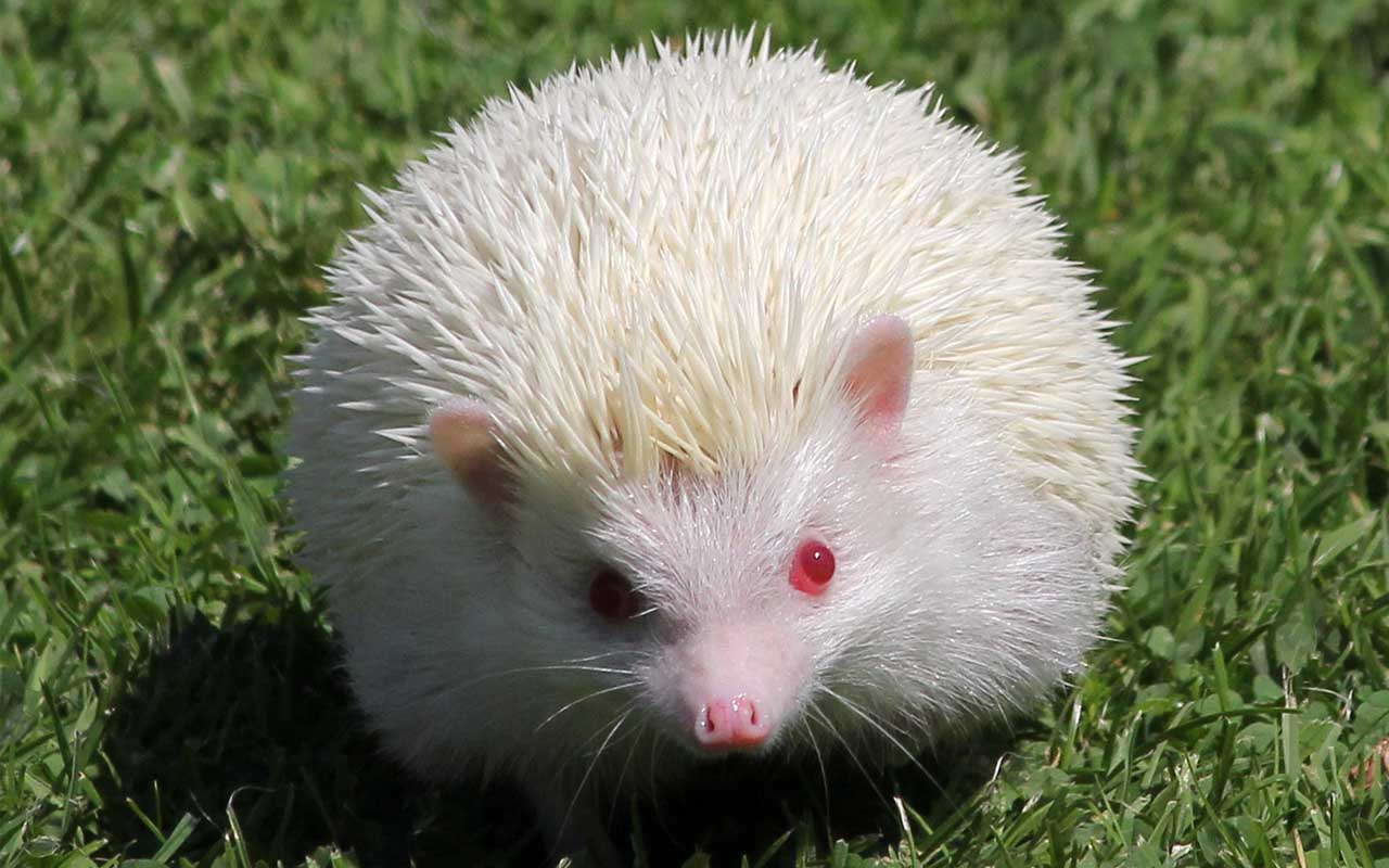 hedgehog, animal, nature, facts
