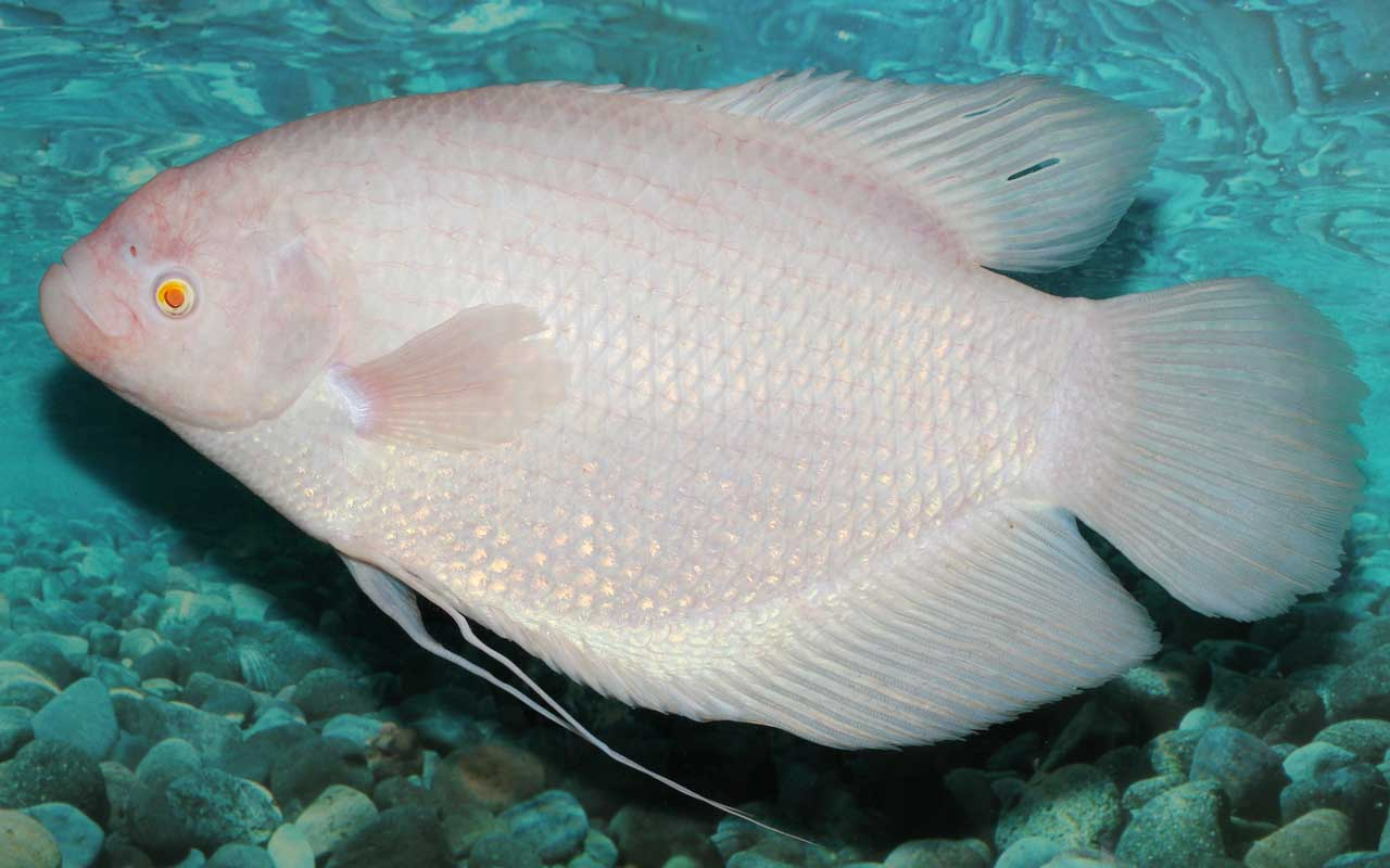 Goramy, fish, albino, facts